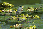 Immature Green Backed Heron, Butorides striatus, or Striated Heron, Little Heron, on pond, Peru. .South America....