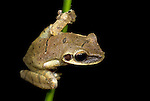 Common Laughing Frog, Osteocephalus taurinus, arboreal, nocturnal, on stem in jungle, Iquitos, Northern Peru, . .South America....