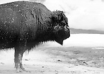 Bison winter over