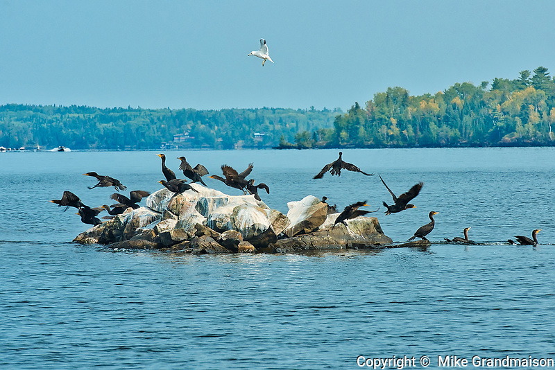Double-crested cormorant (Phalacrocorax auritus) on an island in  the Lake of the Woods<br />Ontario<br />Lake of the Woods District<br />Canada