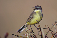 Eastern Yellow Wagtail - Motacilla tschutshcensis - Adult female breeding