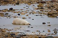 01874-108.18 Polar Bear (Ursus maritimus) cleaning blood from fur after ringed seal kill near Hudson Bay Churchill, MB Canada