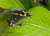 1023-07ww  Dendrobates tinctorius ñ Dyeing Poison Arrow Frog ñ Tincs Dart Frog © David Kuhn/Dwight Kuhn Photography
