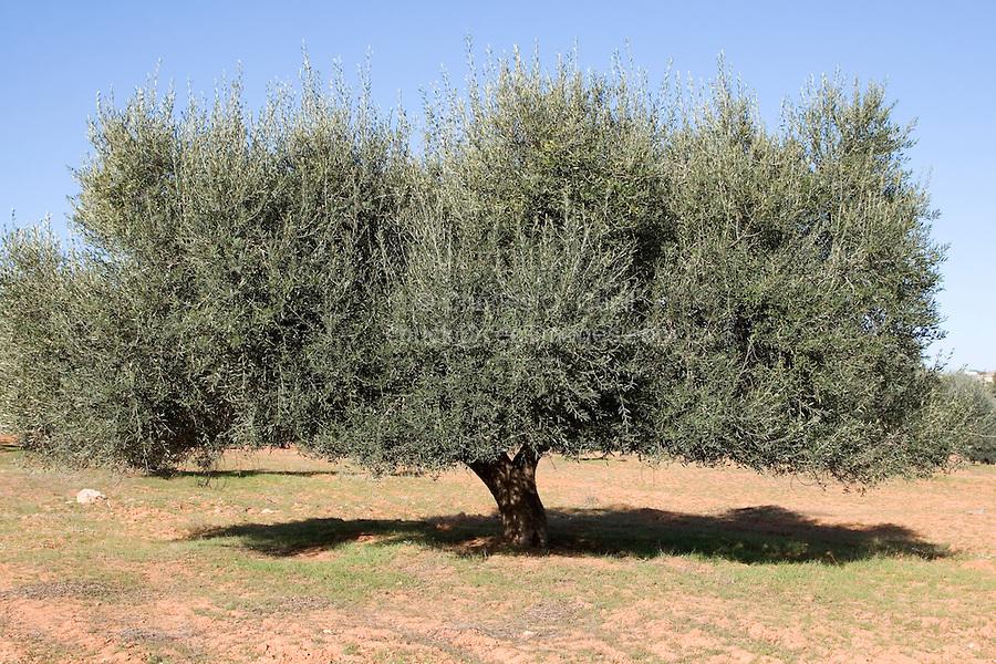 Near Tarhouna, Libya - Olive Tree