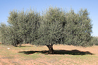 Near Tarhouna, Libya - Olive Tree