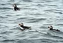 THE ISLES OF SCILLY SEABIRD RECOVERY PROJECT. PUFFINS FISHING IN THE WESTERN ROCKS.<br />