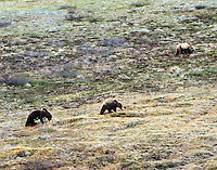 Brown bear and two large cubs foraging