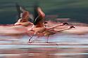 Lesser flamingos (Phoenicopterus minor) flying, motion blur, Lake Nakuru, Kenya