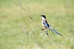 Azure Winged Magpie, Cyanopica cyanus, Ria Formosa West, Quinta Do Lago Golf Course, Algarve, Portugal