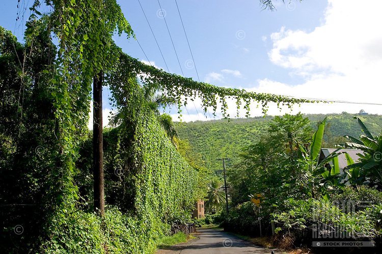Vines cover telephone pole and wires on rural Big Island street.