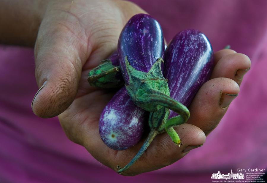 A farmer holds purple eggplant grown on her farm.