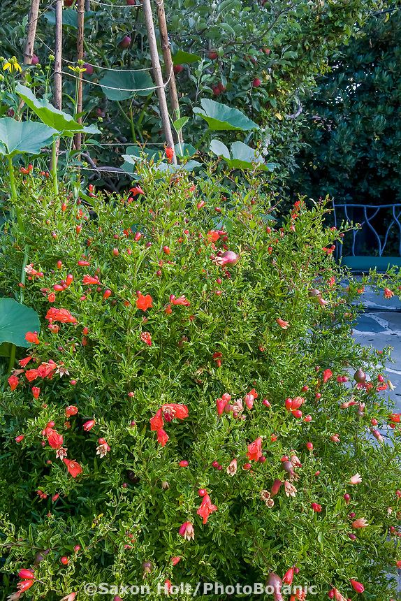 Pomegranate (Punica granatum) orange flower fruit tree in edible landscape garden border