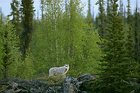 694922202f a wild adult gray wolf canis lupus pauses in a copse of trees in the taiga forests of the northwest territories in canada