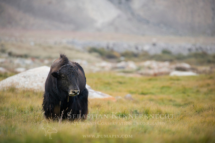 Yak (Bos grunniens) chewing on grass, Sarychat-Ertash Strict Nature Reserve, Tien Shan Mountains, eastern Kyrgyzstan