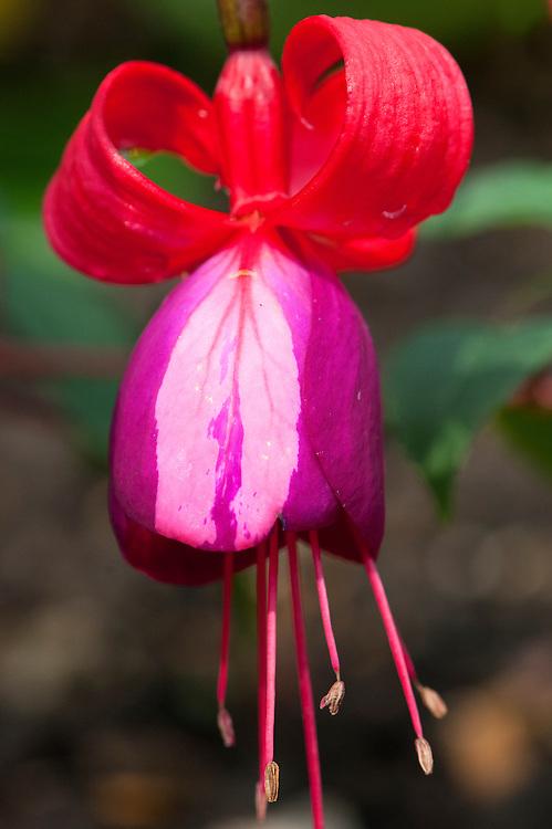 Hybrid fuchsia 'Blands New Stripe', early August.