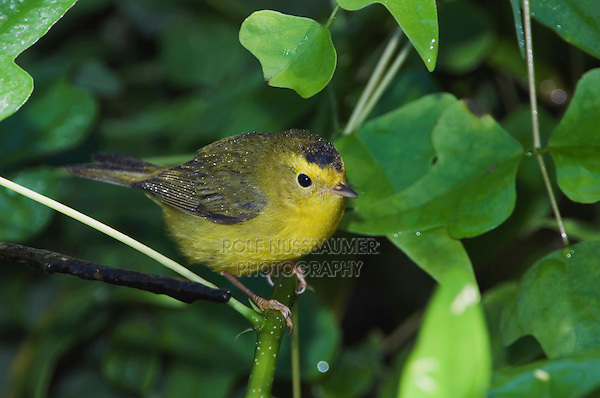 Wilson's Warbler, Wilsonia pusilla, young male, Port Aransas, Texas, USA, September 2007