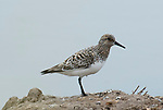 Sanderling, Calidris alba, Salt Pans, Ria Formosa East, Algarve, Portugal, Summer Plumage