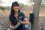 Cheetah (Acinonyx jubatus) biologist, Kim Young-Overton, placing camera trap on tree, Kafue National Park, Zambia
