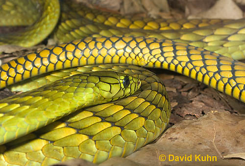 0423-1113  Western Green Mamba (West African Green Mamba), Dendroaspis viridis  © David Kuhn/Dwight Kuhn Photography