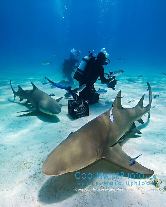 Lemon Sharks, Negaprion brevirostris, and scuba divers, West End, Grand Bahama, Atlantic Ocean