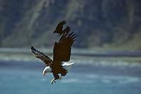 Bald Eagle being harassed by crow (northwestern crow).   Alaska.  Summer.