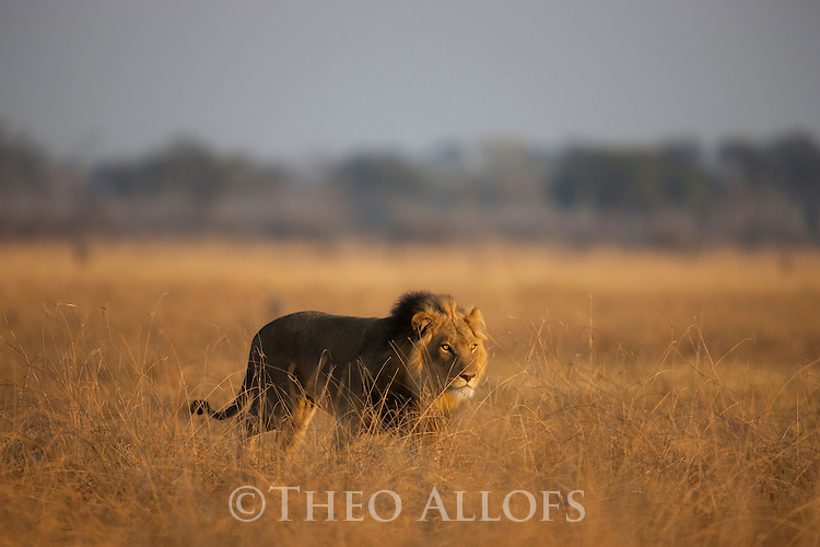 Botswana, Chobe National Park, Savuti, male lion (Panthera leo) walking in grass savannah early morning