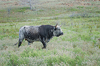 Longhorn Bull, Witchita Mountains National Wildlife Refuge, Oklahoma