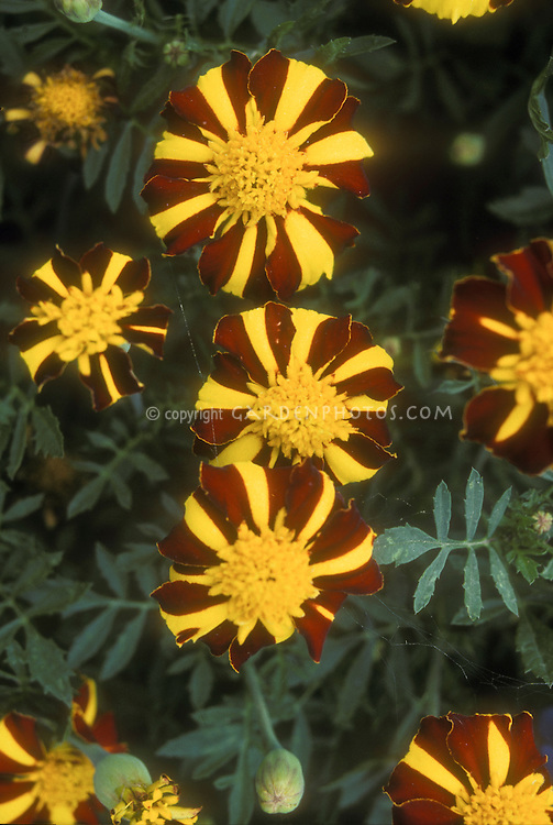 Tagetes Scotch Pride, orange and yellow striped marigold flowers, heirloom annual bloom