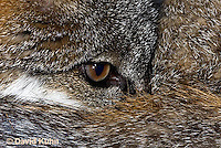 1118-0807  Gray Fox in Desert Closeup of Eyes of Curled up Fox, Urocyon cinereoargenteus © David Kuhn/Dwight Kuhn Photography