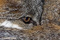 1118-0807  Gray Fox in Desert Closeup of Eyes of Curled up Fox, Urocyon cinereoargenteus © David Kuhn/Dwight Kuhn Photography