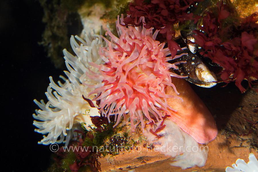 Dickhörnige Seerose, Braune Seedahlie, Urticina felina, Tealia felina, Seeanemone, northern red anemone, dahlia anemone, Seeanemonen, sea anemone, Blumentier, Actiniaria, Anthozoa