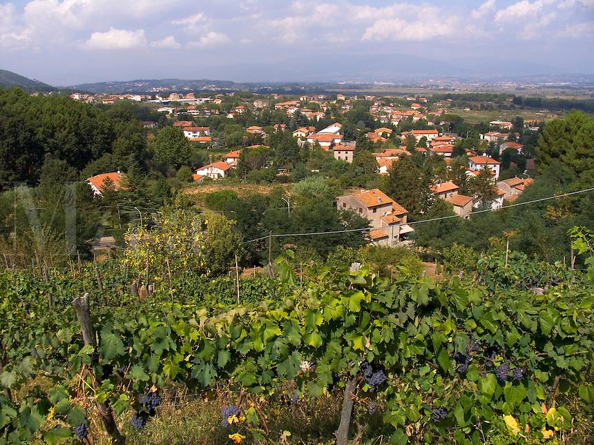 Castelvecchio, Tuscany, Italy, grapes on vines in hillside vineyard
