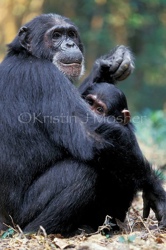 Patti allows son Titan to suckle, although she is trying to wean him.Female chimpanzee (Pan troglodytes schweinfurthii) .Africa, East Africa, Tanzania, Gombe NP.