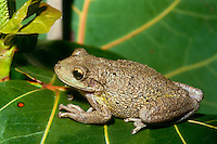 Cuban Tree frog, Osteopilus septentrionalis, on leaf