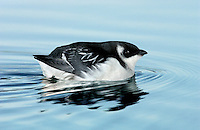 Little Auk Alle alle L 20cm. Our smallest auk with a dumpy body, short neck and tiny, stubby bill. Flies on whirring wingbeats and can look almost Starling-like in flight. Swims well and dive frequently. Sexes are similar. Adult in winter has black cap, nape and back, and white underparts; at close range, note white lines on wings and tiny white crescent above eye. Not seen in breeding plumage in our region. Voice Silent at sea. Status Winter visitor from Arctic breeding grounds where it is locally abundant. Probably numerous in N North Sea in winter but seldom comes close to land by choice.