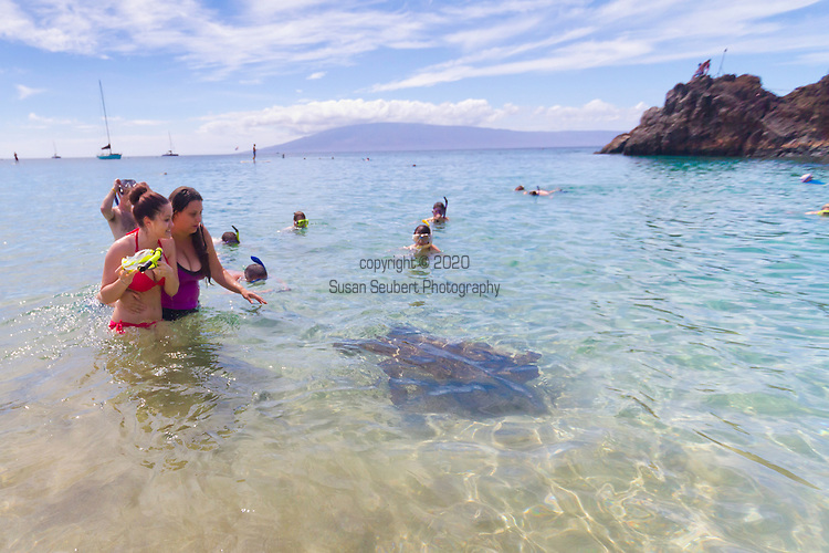 Snorkeling at Black Rock on Kaanapali Beach, Maui, Hawaii.  A Hawaiian Green Sea Turtle being surrounded by tourists at the shoreline.  It is illegal to harass, feed, approach or touch Hawaiian Green Sea Turtles and these activities are punishible by law.  Tourists largely ignore the law and due to budget restraits, the Department of Land and Natural Resources cannot effectively enforce the law.