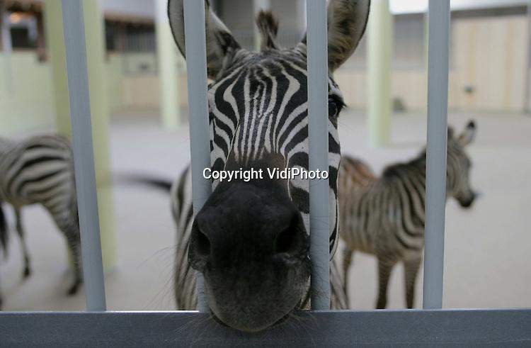 Foto: VidiPhoto..ARNHEM - De eerste exemplaren van de grootste kudde raszuivere Grant-zebra's van Europa heeft vrijdagmiddag het modernste en tevens grootste stallencomplex van een Europese dierentuin in gebruik genomen. De nieuwe safaristallen van Burgers Zoo in Arnhem kunnen zo'n 200 dieren herbergen. Het publiek kan de dieren daar zien door middel van grote ruiten en doorkijkjes. Het materiaal van de stallen bestaat uit een speciale kunststof dat nog nooit eerder op deze schaal is toegepast.