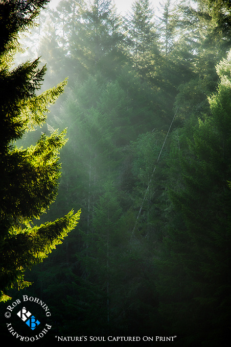 Divine Light breaks through the foggy morning in the dense forests along the beautiful Mendocino Coast
