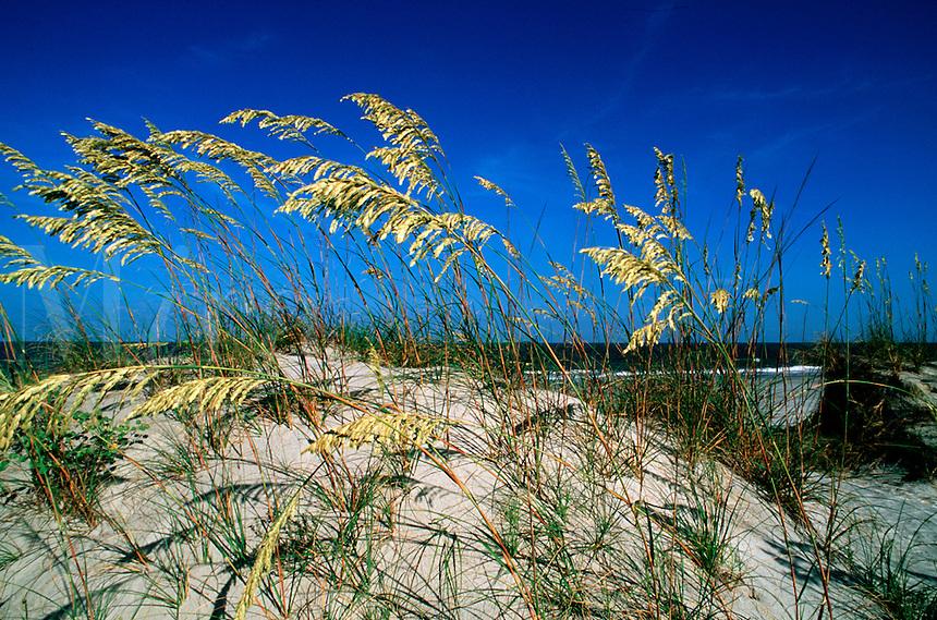 Sea oats growing on sand dune. South Carolina.
