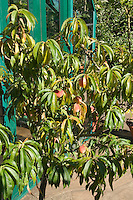 Peach 'Bonanza' tree in backyard (dwarf variety of fruit) showing almost entire small tree with patio and house with red ripe peaches
