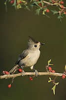 Black-crested Titmouse, Baeolophus atricristatus, adult on Agarita (Berberis trifoliolata), Uvalde County, Hill Country, Texas, USA