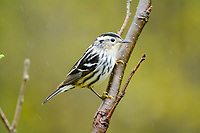 Black and white warbler, Mniotilta varia, female, perched on twig in spring, Nova Scotia, Canada