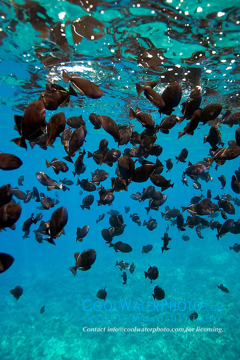 schooling black triggerfish, Melichthys niger, feeding at surface, Kealakekua Bay, Big Island, Hawaii, Pacific Ocean
