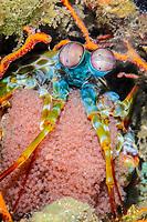 Peacock mantis shrimp, Odontodactylus scyllarus, with eggs, Lembeh Strait, North Sulawesi, Indonesia, Pacific