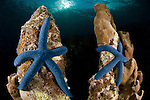 Blue linkia starfish (Linckia laevigata) pair attached to the dead part of coral