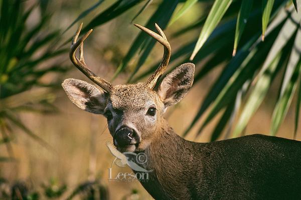 Florida key deer buck (Odocoileus virginianus clavium)