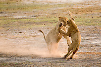Lion cubs playing along the Chobe River, Chobe National Park, Botswana