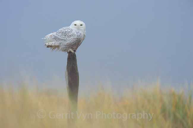 Male Snowy Owl (Bubo scandiacus) still hunting form a perch in coastal dunes. Grays Harbor County, Washington. November.