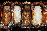 Honigbiene, Puppe, Puppen, Entwicklung, Entwicklungsreihe in den Waben, Nest, Honig-Biene, Biene, Bienen, Honigbienen, Apis mellifera, Apis mellifica, honey bee, hive bee, bees