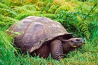 giant tortoise, Geochelone elephantopus, Santa Cruz Island, Galapagos, Ecuador (Pacific Ocean)